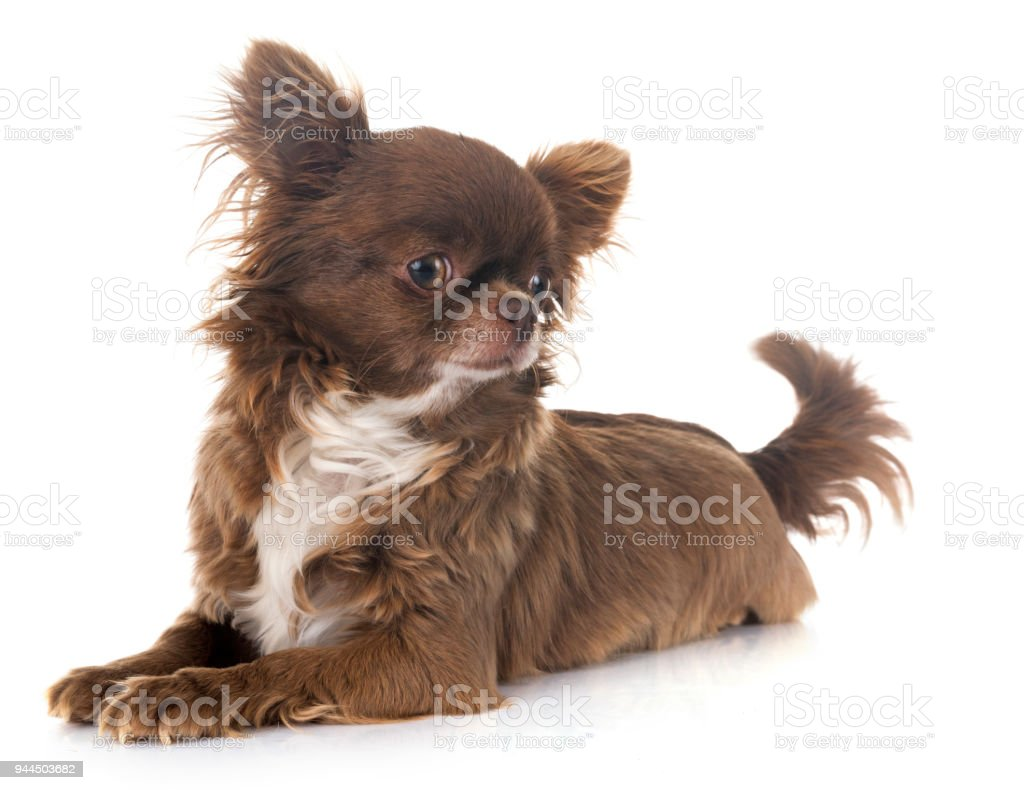 young chihuahua stock photo