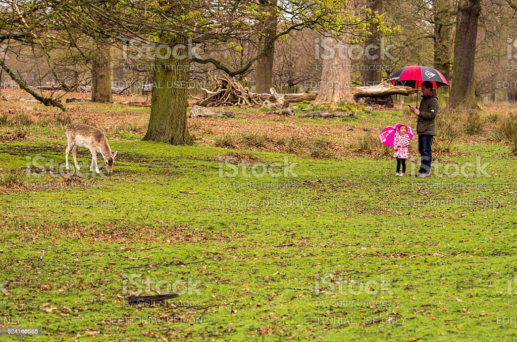 Young child and parent admiring the fallow deer stock photo