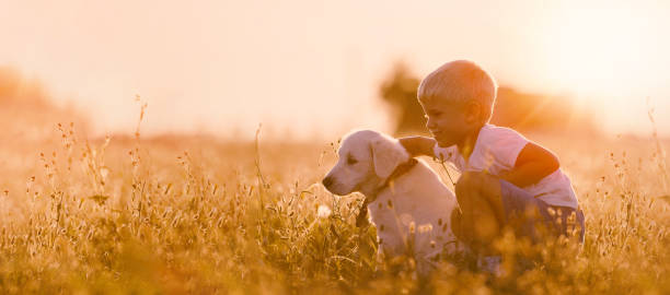 Young Child Boy Training Golden Retriever Puppy Dog in Meadow on Sunny Day stock photo