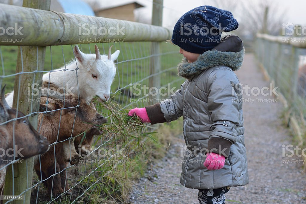 Young child feeding grass to pygmy African goats stock photo