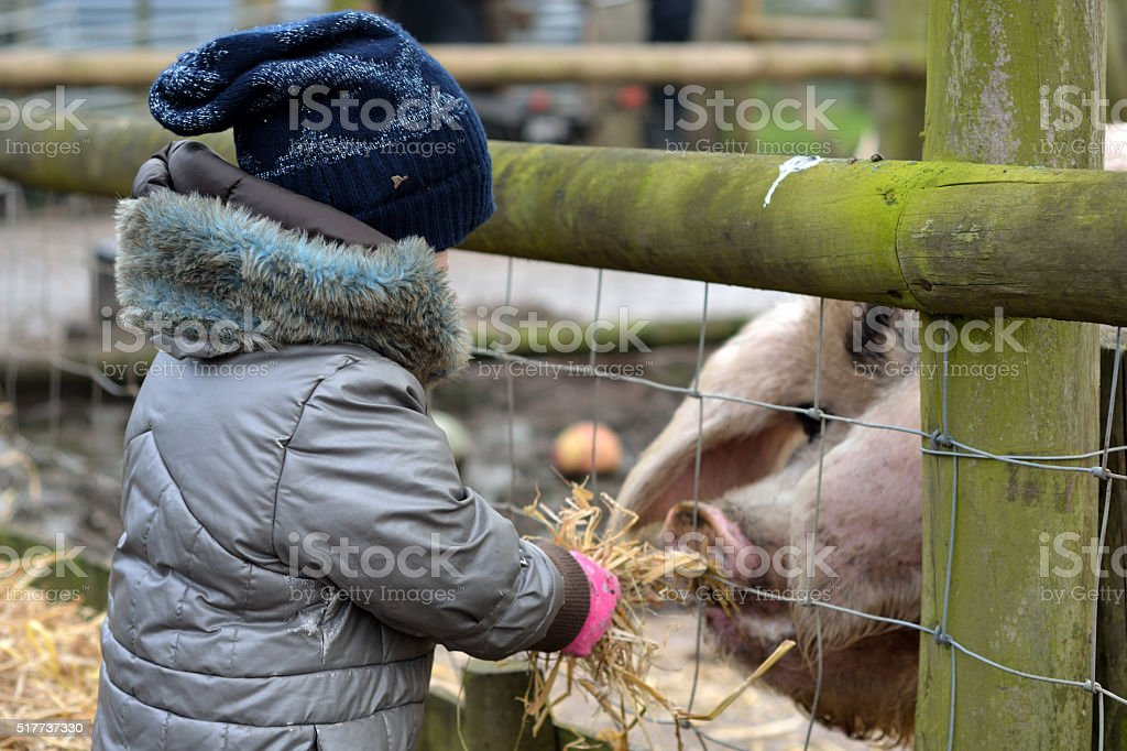 Young child feeding straw to gloucester old spot sow stock photo