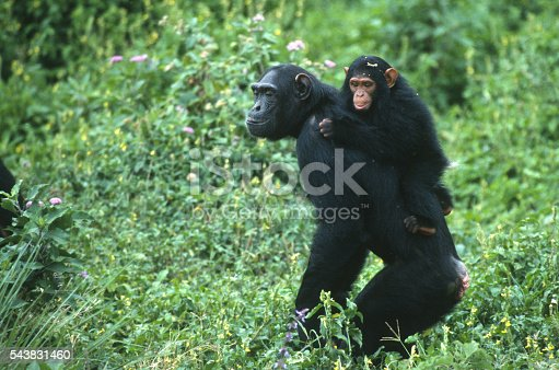 A young chimp clings to his mother walking upright through the thick foliage on Ngamba Island, a reserve for rescued chimpanzees in Lake Victoria, Uganda, Africa near Entebee.