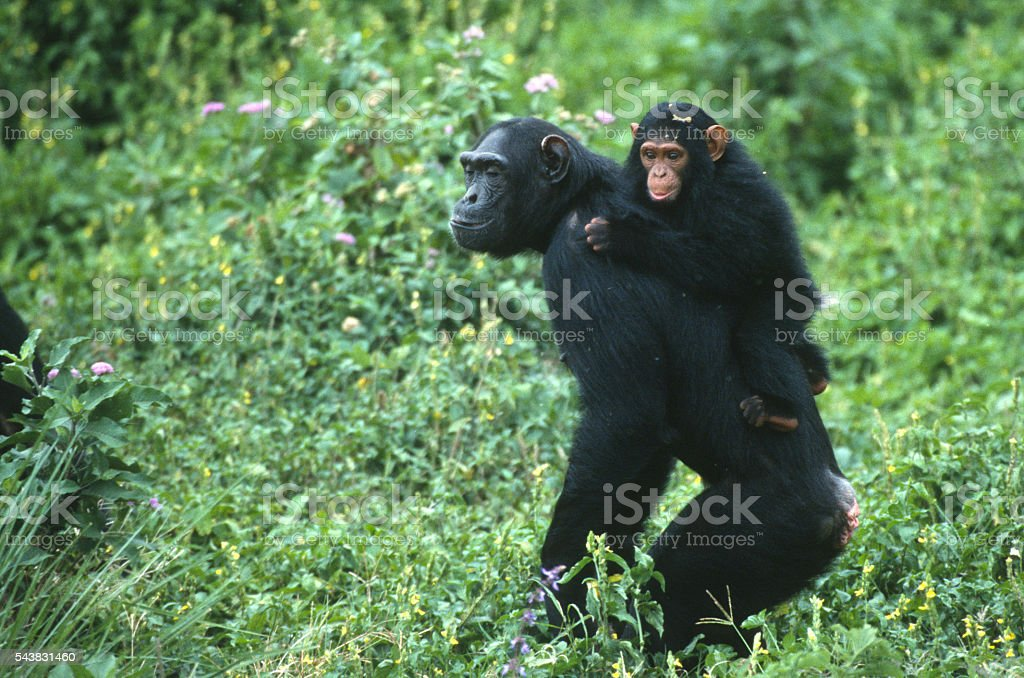 Young chimpanzee clings to walking mother Uganda reserve stock photo