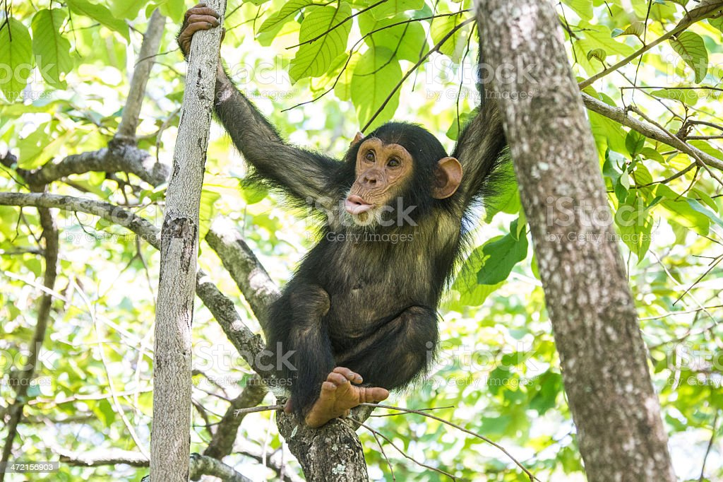 Young chimpanzee close up, wildlife shot, Gombe Tanzania stock photo