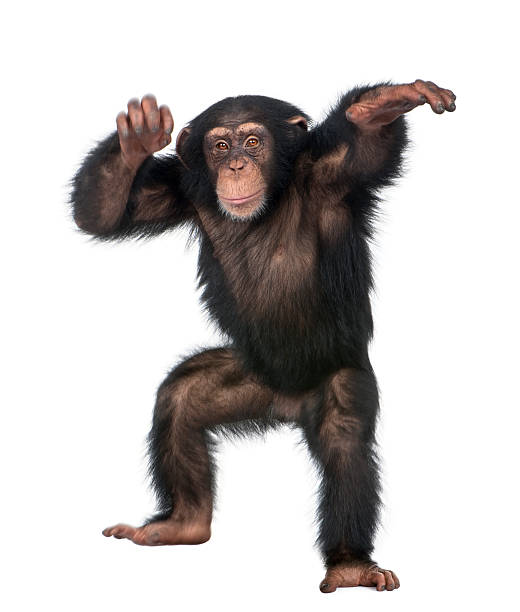 young chimpanzee dancing - ape stock pictures, royalty-free photos & images