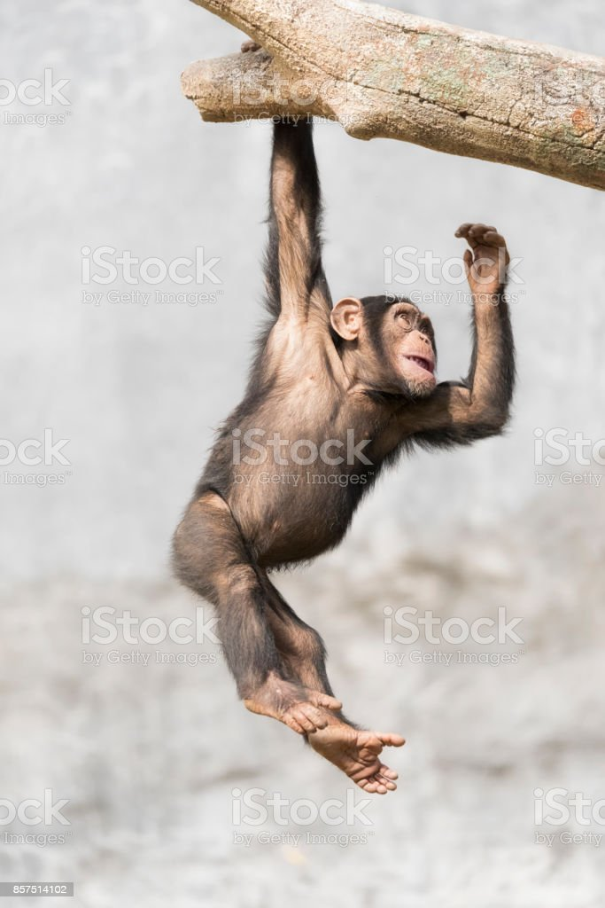 YOung Chimpanzee dangling from a branch one handed stock photo