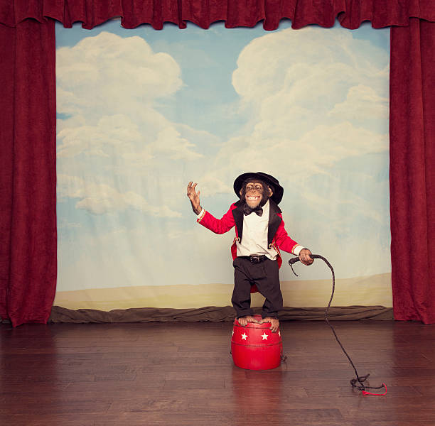 young chimpanzee dressed as circus leader on stage - ape stock pictures, royalty-free photos & images