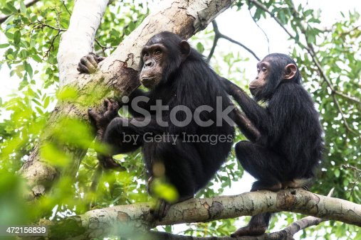 Young chimpanzee grooming, wildlife shot, Gombe Tanzania