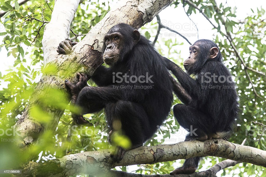 Young chimpanzee grooming, wildlife shot, Gombe Tanzania stock photo