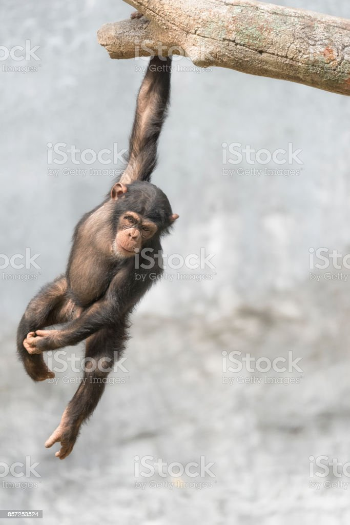 Young Chimpanzee hanging off a tree branch stock photo