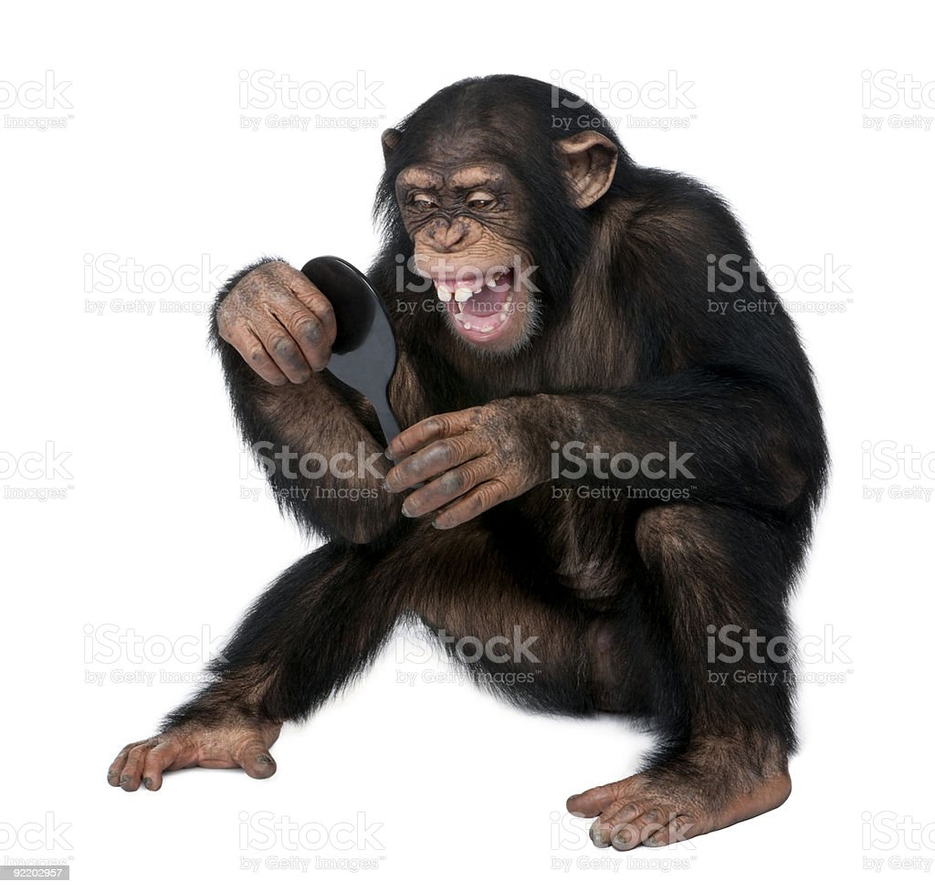 Young Chimpanzee looking at himself in a mirror stock photo