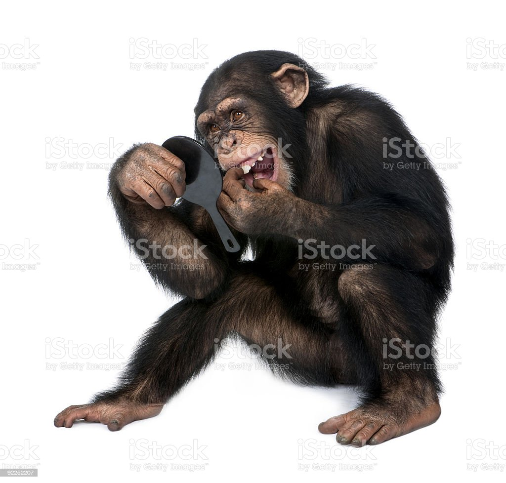 Young Chimpanzee looking at his teeth in a mirror stock photo
