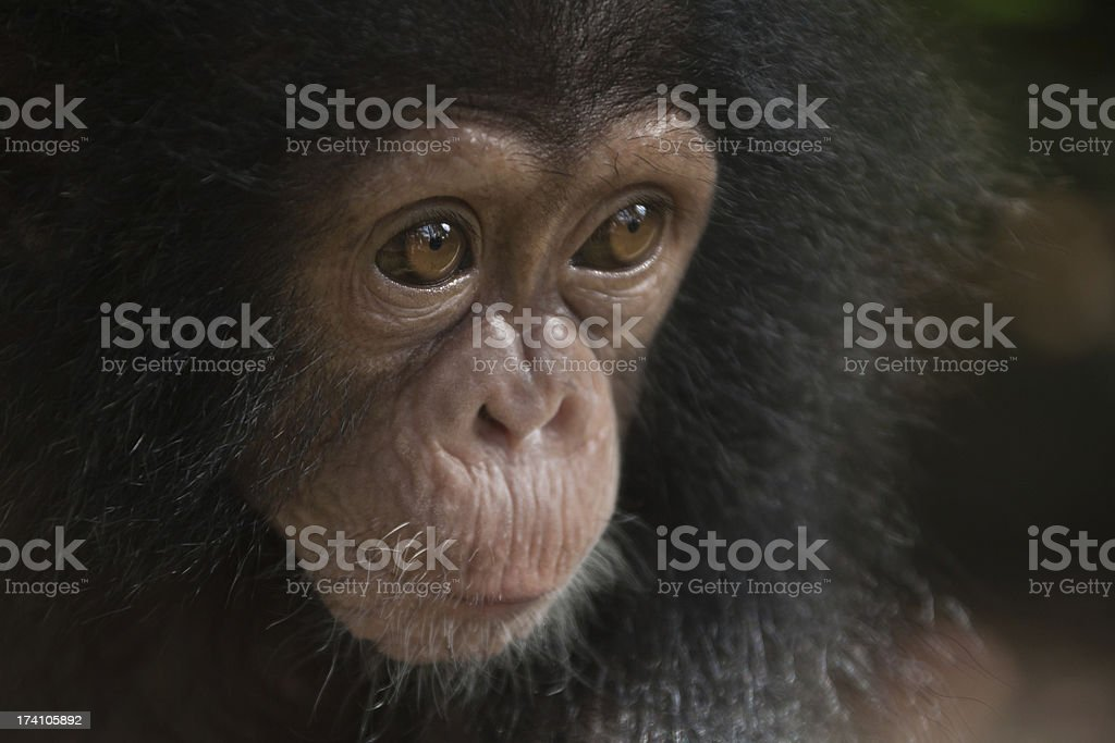 Young Chimpanzee stock photo