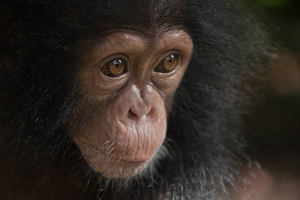 do chimpanzees have culture For adapting to the environment, organisms have two choices: to change their physiology or to change their behavior, through genetic changes or lear.