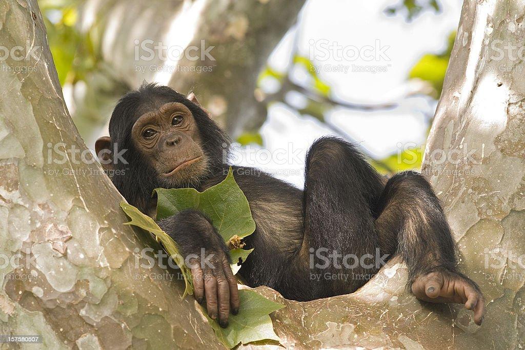Young chimpanzee relaxing in a tree, wildlife shot, Gombe/Tanzania stock photo