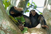 A young 'Chimp' (Common Chimpanzee, Pan troglodytes) is relaxing in a tree. SHOT IN WILDLIFE in Gombe Stream National Park in Tanzania.