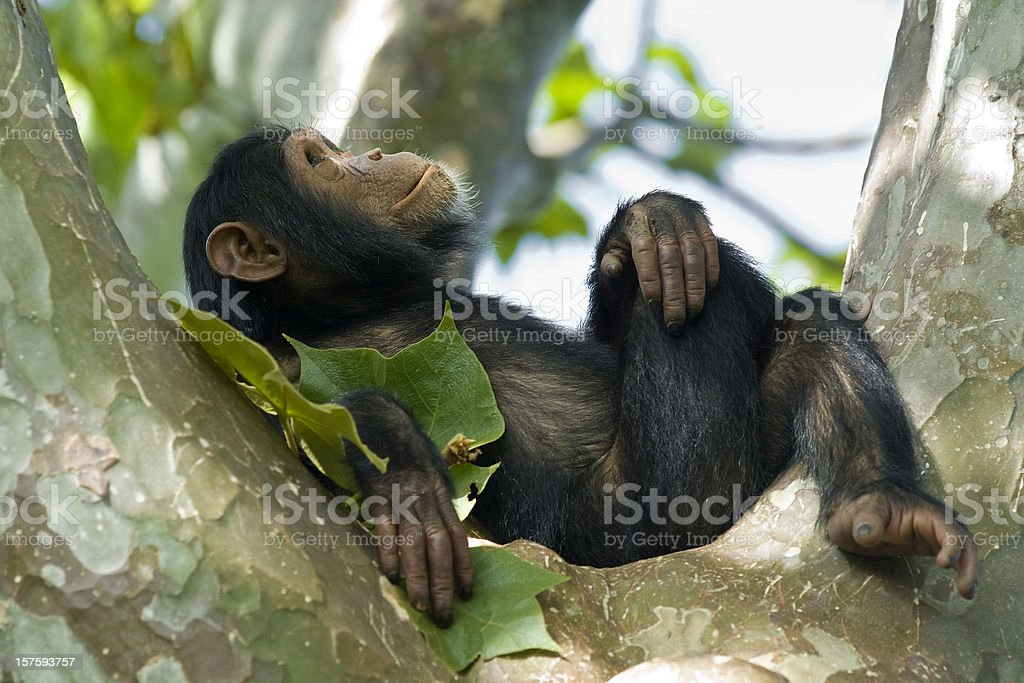 Young chimpanzee relaxing in a tree, wildlife shot, Gombe/Tanzania stock photo