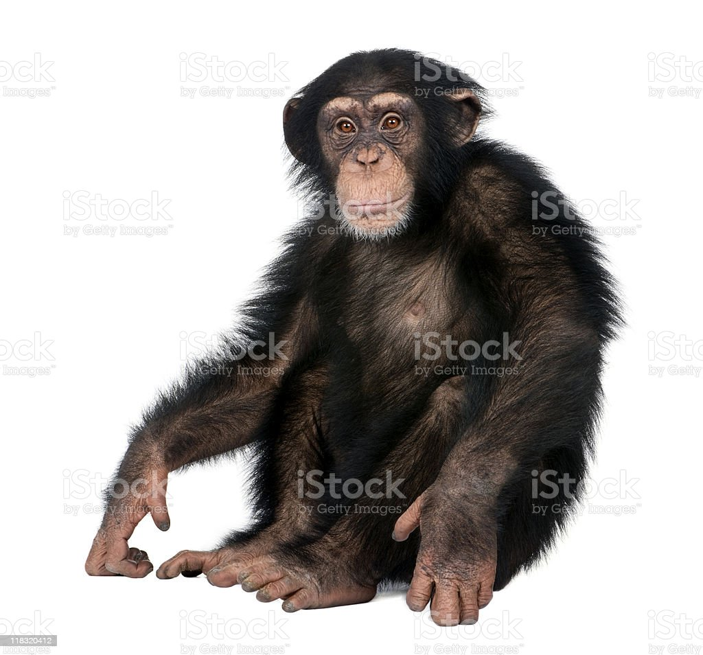 Young Chimpanzee - Simia troglodytes (5 years old) stock photo