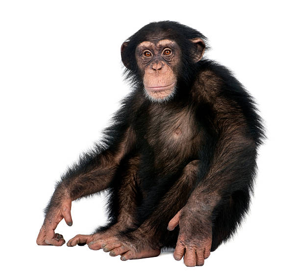 young chimpanzee - simia troglodytes (5 years old) - 哺乳動物 個照片及圖片檔