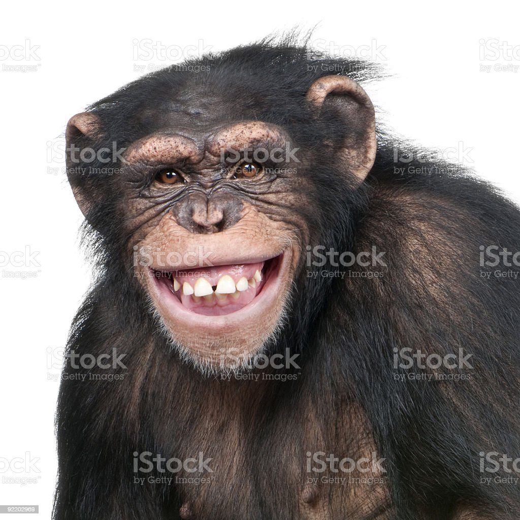 Young Chimpanzee - Simia troglodytes (6 years old) stock photo