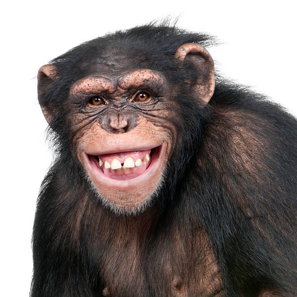 young chimpanzee - simia troglodytes (6 years old) - ape stock pictures, royalty-free photos & images