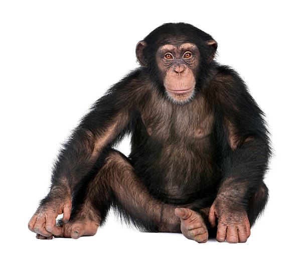 young chimpanzee - simia troglodytes (5 years old) - monkey stock photos and pictures