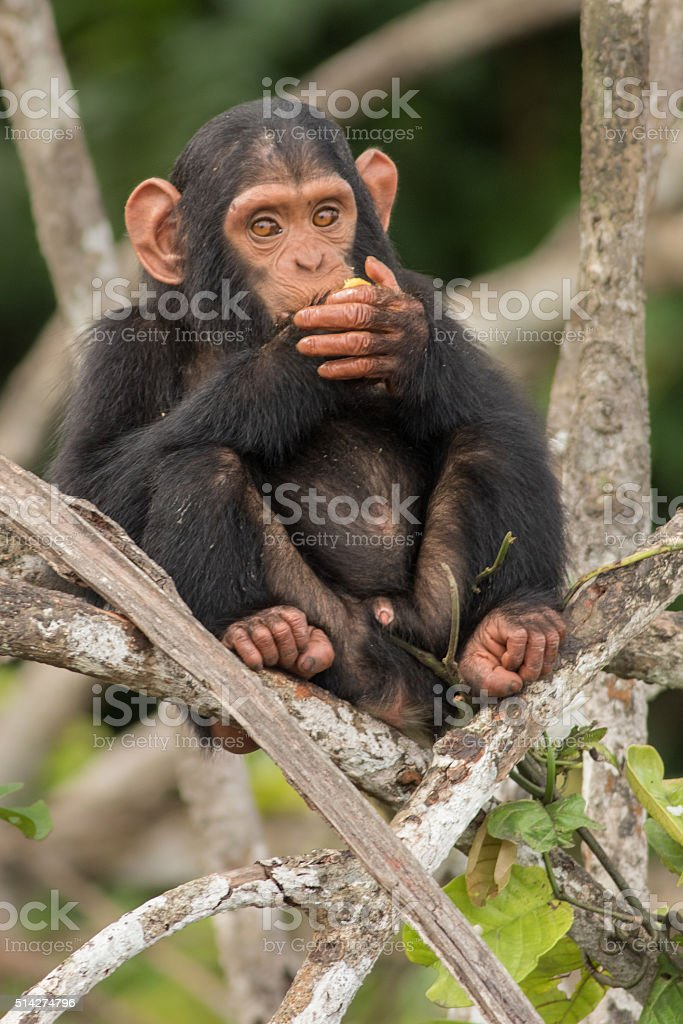 young chimpanzee sitting on a tree in congo stock photo