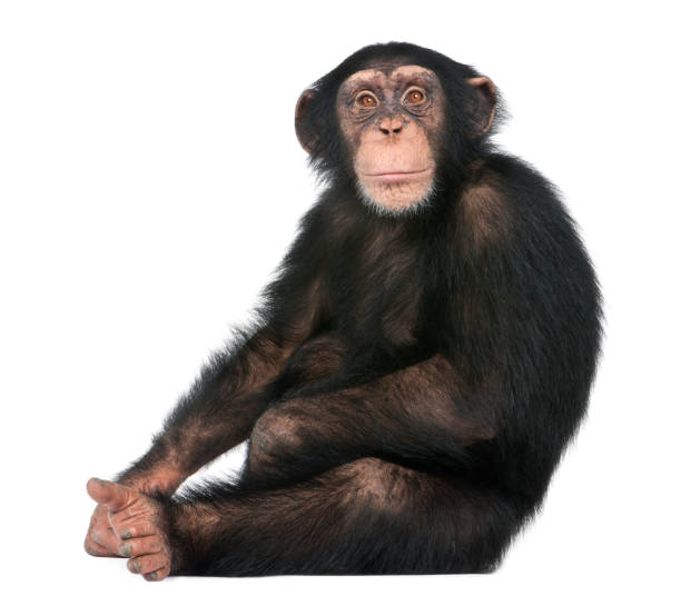 young chimpanzee sitting - simia troglodytes (5 years old) in front of a white background - ape stock pictures, royalty-free photos & images