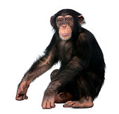 istock Young Chimpanzee sitting - Simia troglodytes (5 years old) in front of a white background 944271706
