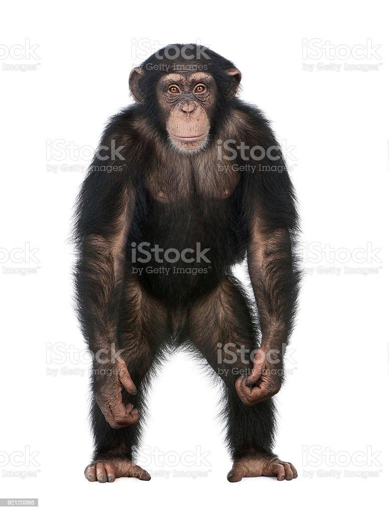 Young Chimpanzee standing up like a human stock photo