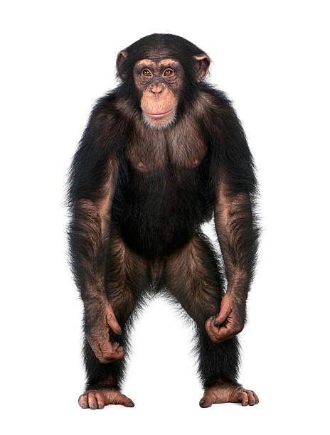 young chimpanzee standing up like a human - ape stock pictures, royalty-free photos & images