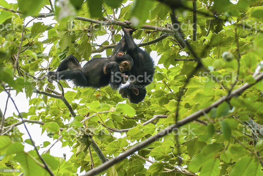 Young chimpanzees playing in a tree, wildlife shot, Gombe/Tanzania stock photo