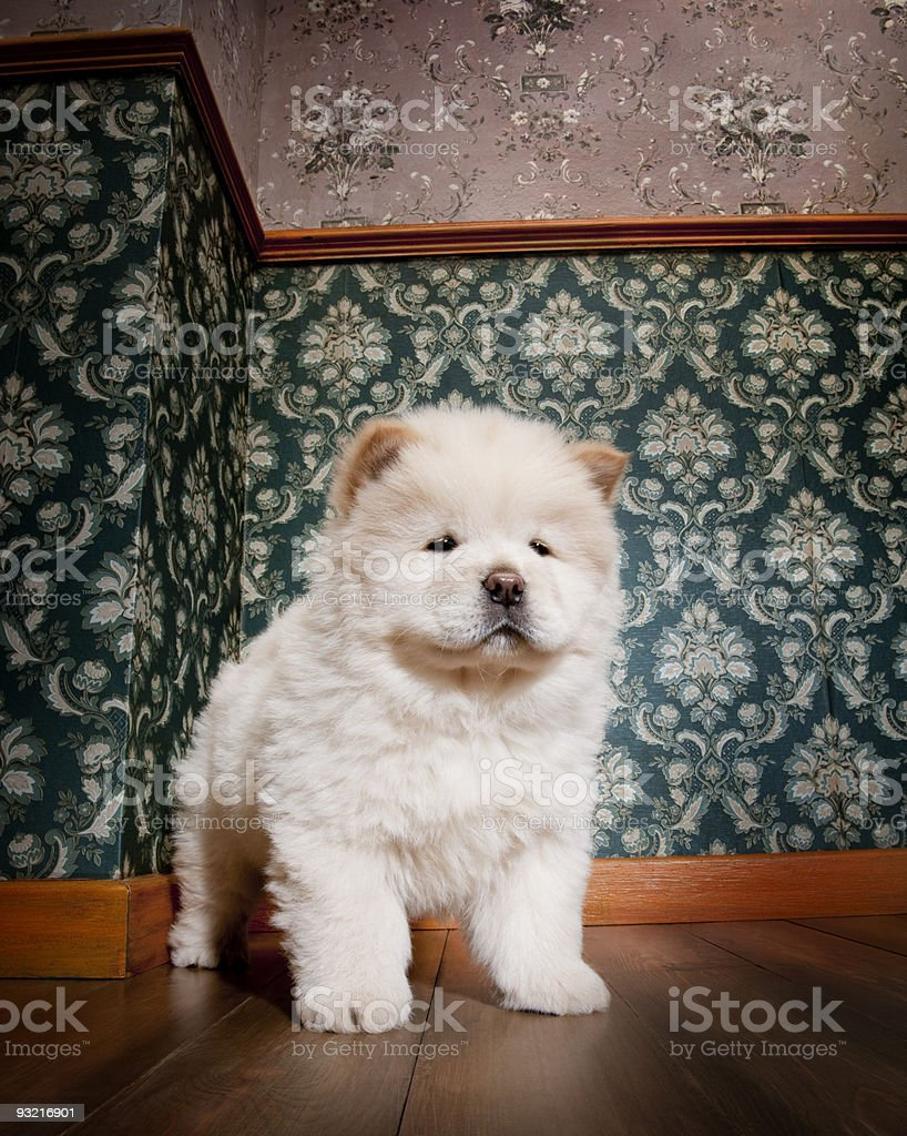 young Chow-chow in a retro room royalty-free stock photo