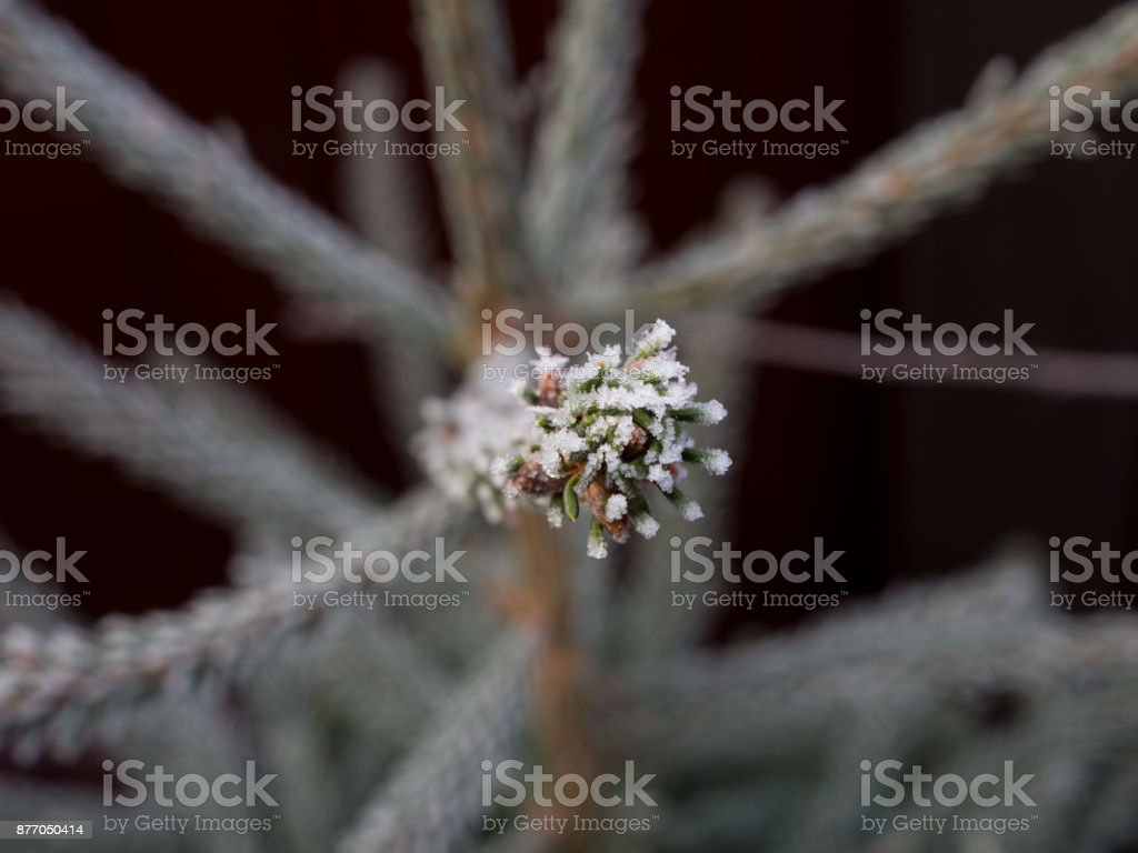Young Christmas tree, bordered by a white frost, macro. Background. stock photo