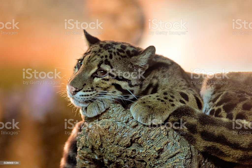 Young clouded leopard royalty-free stock photo