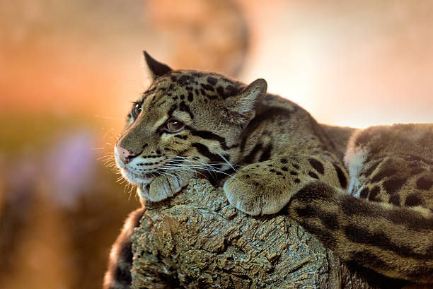 Young clouded leopard stock photo