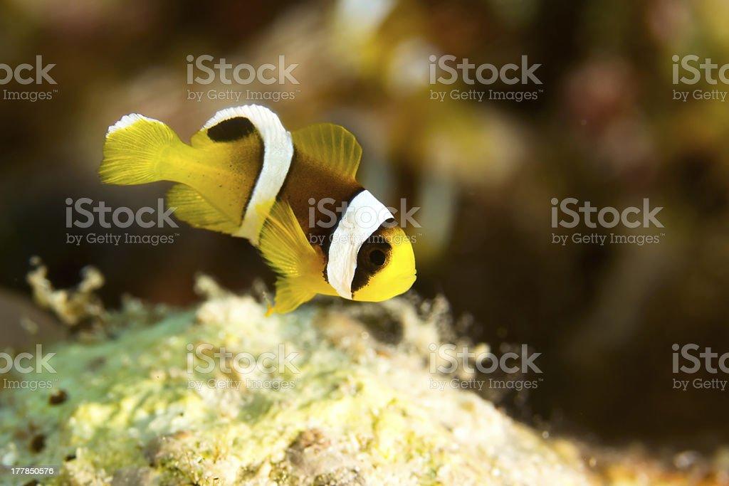 Young clowfish stock photo