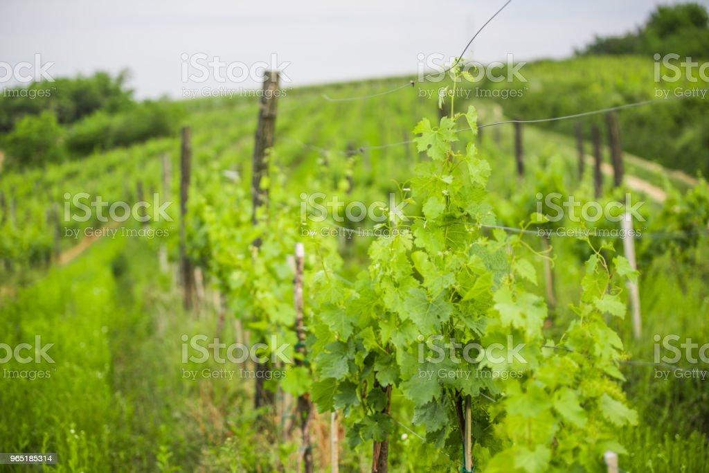 Young cluster of prosecco grapes zbiór zdjęć royalty-free