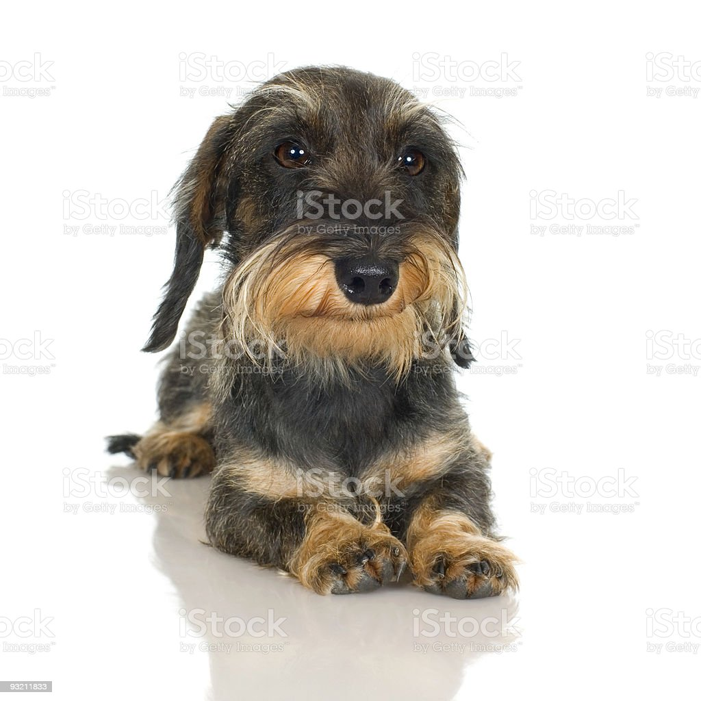 young Coarse haired Dachshund (11 mounths) royalty-free stock photo