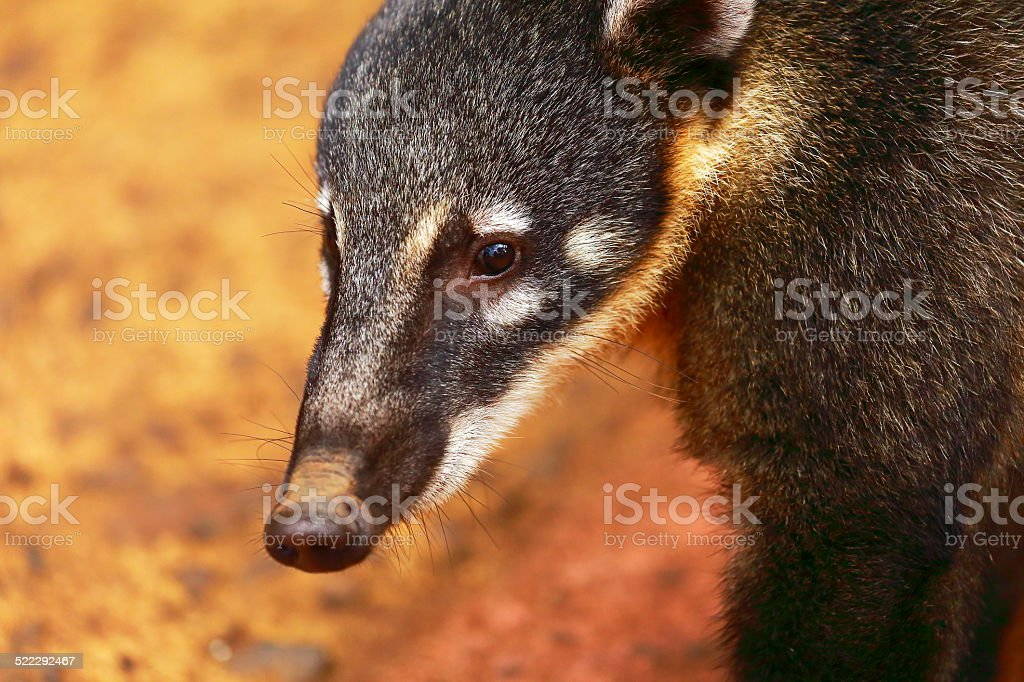 young Coati close portrait in Iguacu Falls, Brazil / Argentina stock photo
