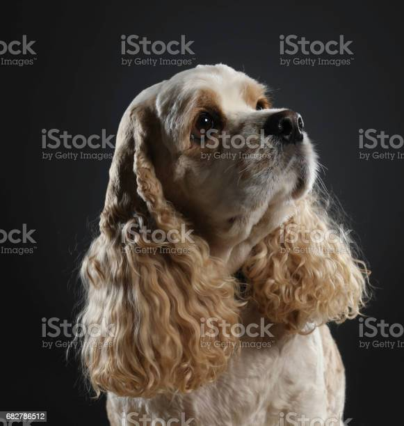 Young cocker spaniel looking up picture id682786512?b=1&k=6&m=682786512&s=612x612&h=li2 e ezkylovwpmjsz0l5edm6law3cfzmddaqhljqy=