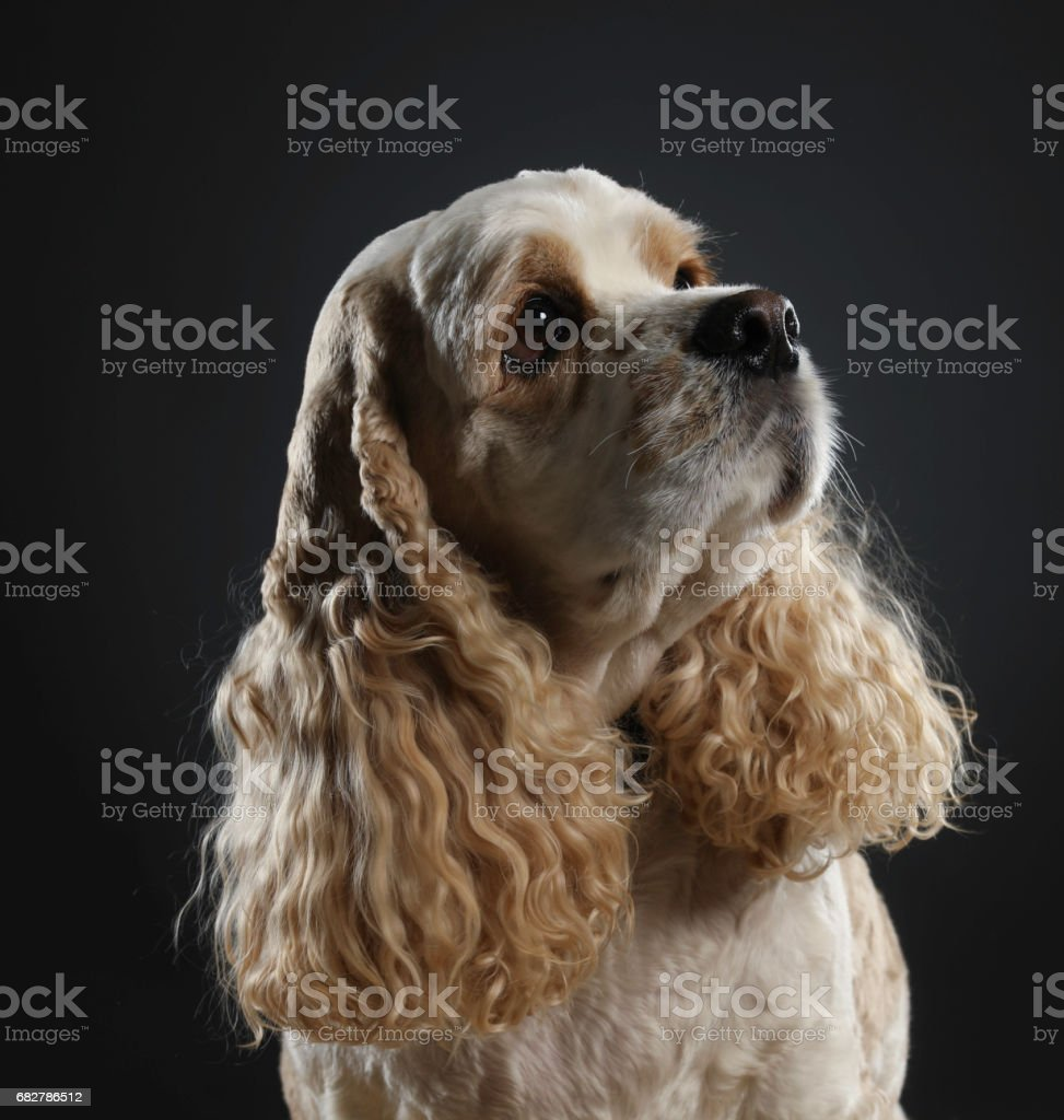 Young Cocker Spaniel Looking Up stock photo