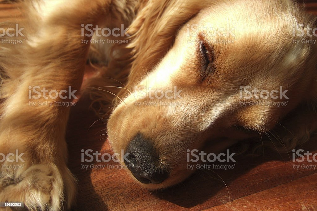 Young Cocker Spaniel resting on a wooden floor royalty-free stock photo