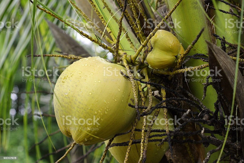 Young Coconut stock photo