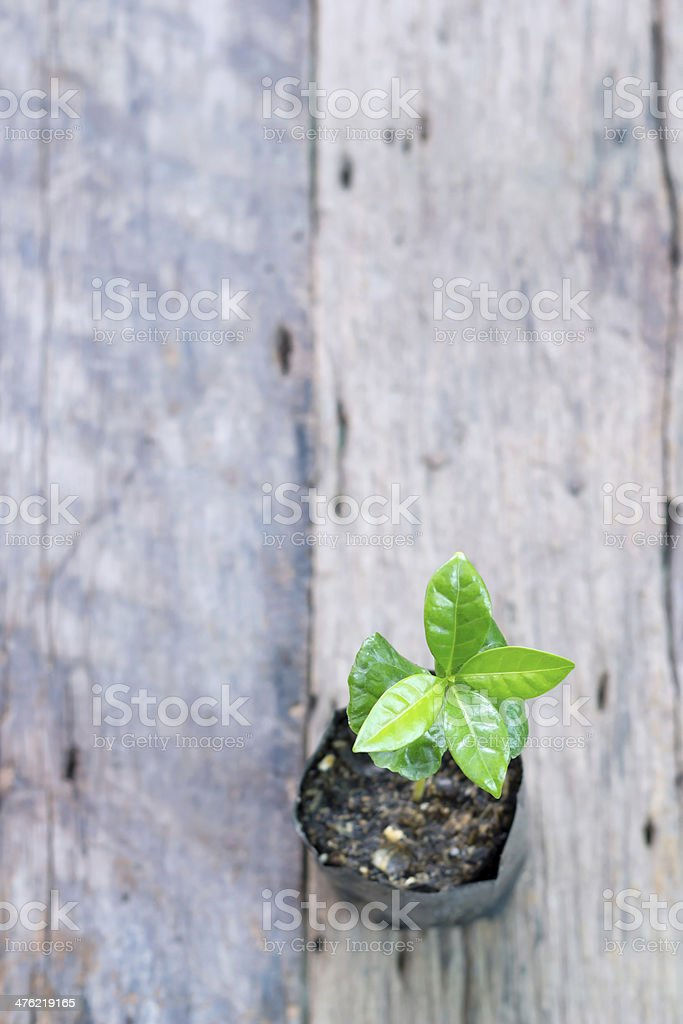 Young coffee plant royalty-free stock photo