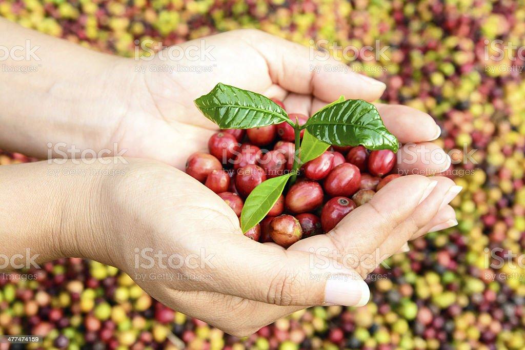 Junge Kaffee-Strauch und Kaffeebohnen in Händen – Foto