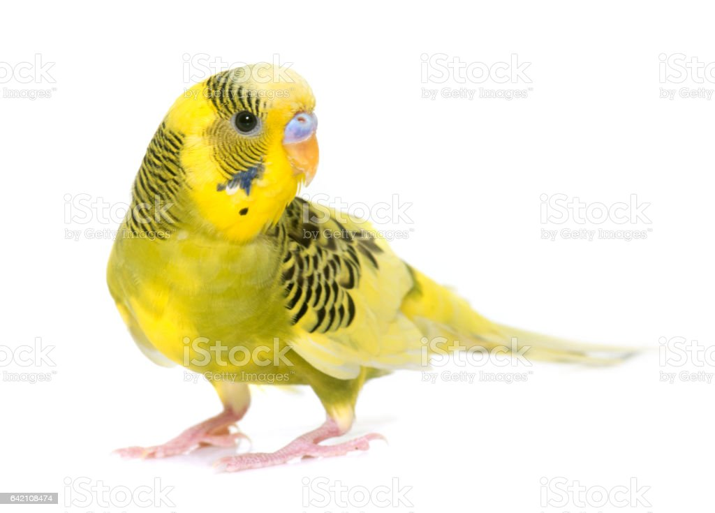 young colorful budgerigar stock photo