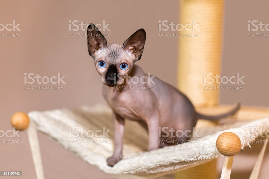 Young colorpoint sphynx cat in hammock stock photo
