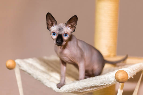 6 372 Sphynx Hairless Cat Stock Photos Pictures Royalty Free Images Istock