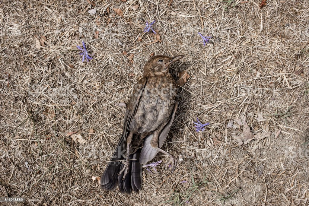 Young common blackbird (Turdus merula) dead on a background of dried grass and violet flowers stock photo